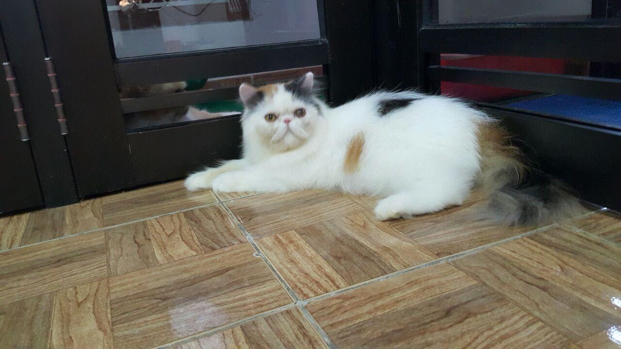 Cara Merawat Bulu Kucing Persia Giocatshop